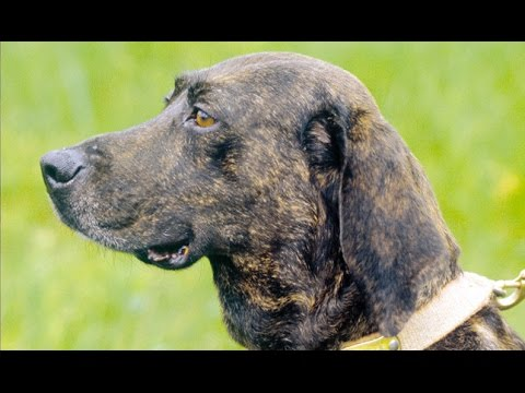 Plott Hound - Dog Breed