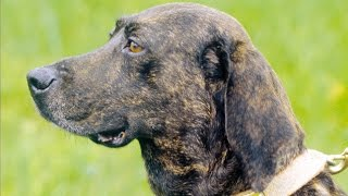 Of the seven breeds of United Kennel Club (UKC) registered coonhoun...
