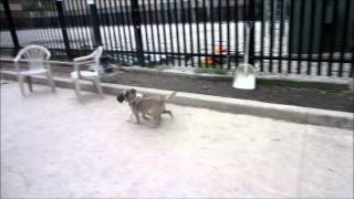 Rudy, The Boston Terrier, Battles Cody, The Border Terrier, Over A Hedgehog Toy