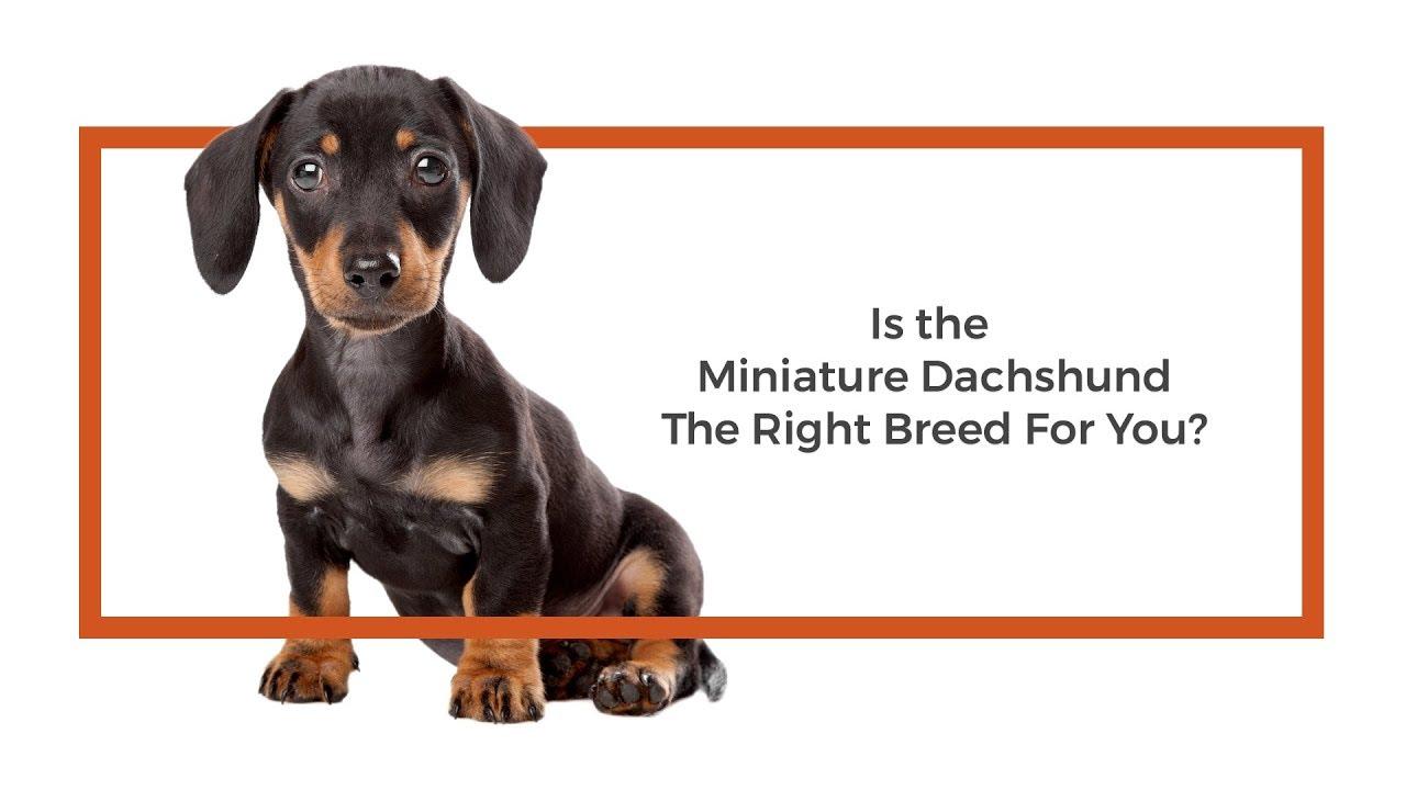 Dachshund Puppies - Visit Petland Chicago Ridge in Cook