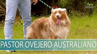 Pastor Ovejero Australiano  TvAgro por Juan Gonzalo Angel Restrepo