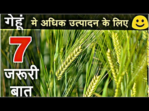 Wheat crop | Best farming tips for more production of wheat crop