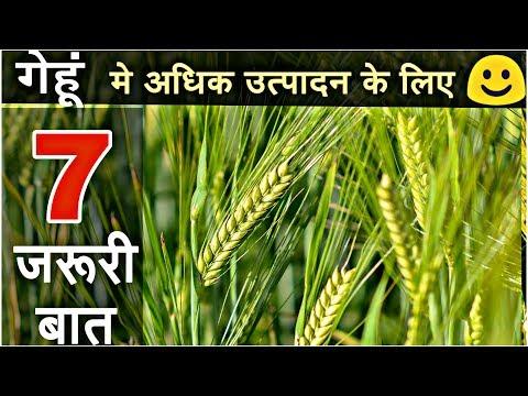 Wheat crop |