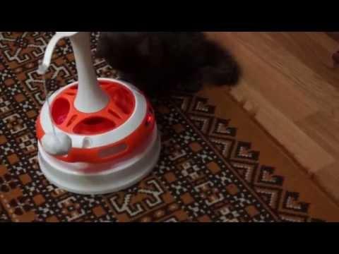 Selkirk Rex Cat and interactive toys Ferplast Tornado / Котенок и интерактивная игрушка