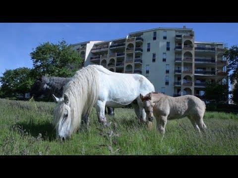Chevaux de trait en écopâturage à Cholet