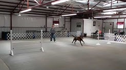 Denton, Dallas / Fort Worth Dog Training - Murphy training Utility (UD)