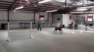 Denton, Dallas / Fort Worth Dog Training - Murphy Training Utility (ud)