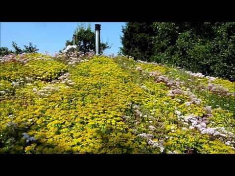 Sedum roof in summer