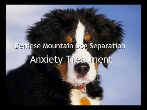 Bernese Mountain Dog Separation Anxiety Treatment Youtube