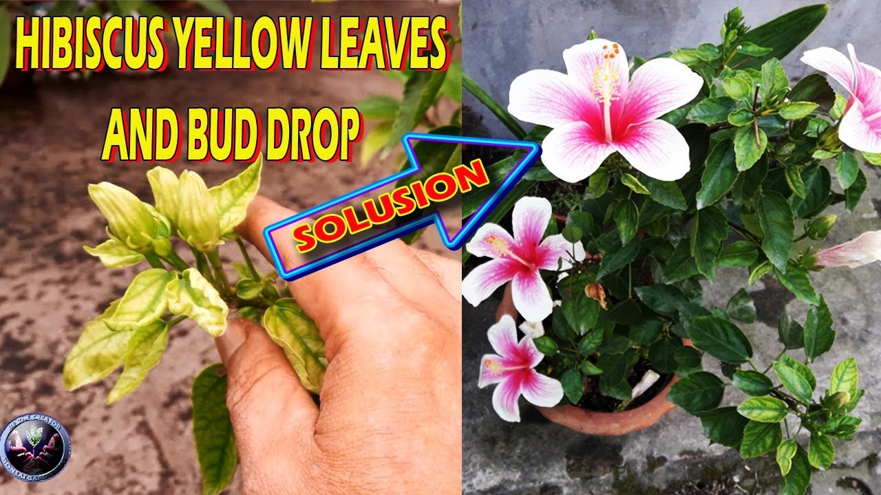 Hibiscus Yellow Leaves And Bud Drop Solution गडहल क