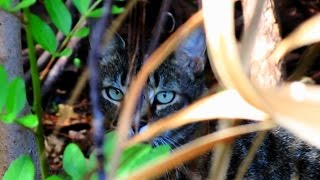 Feral Cat Documentary - Wild Jungle Cat - The Final Chapter