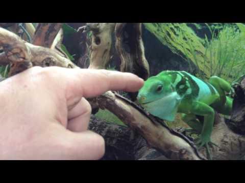 Fiji Iguana Attacks Colombian Gang Leader! Warning