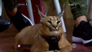 Kerennya Kucing Caracal Yang Bikin Kamu Tertarik Memilikinya