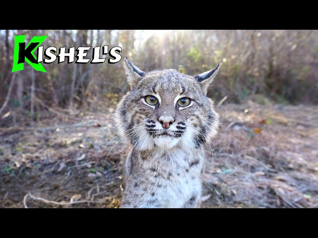 Bobcat Scents with Attitude