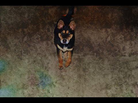 Huấn luyện chó nghiệp vụ săn người cực đỉnh