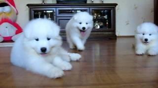 Роскошные самоеды! (Samoyed Puppies)