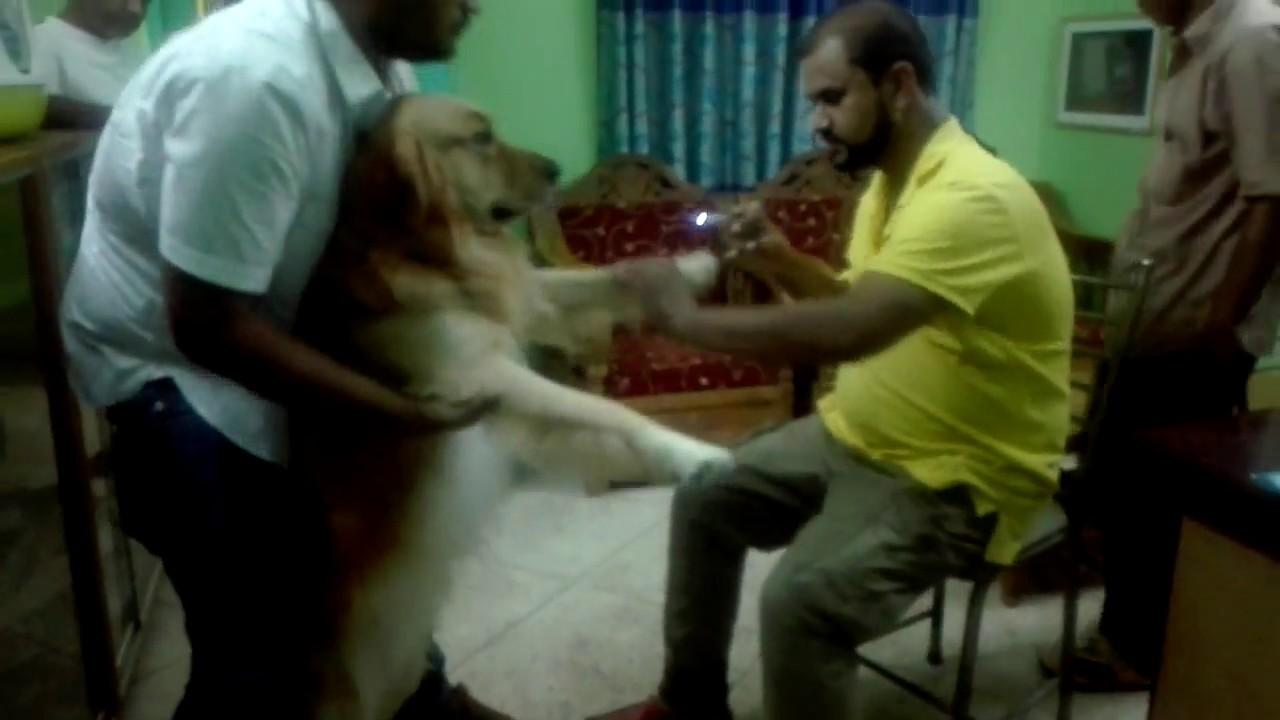 golden retriever dog pet clinic pet doctor 01912251312