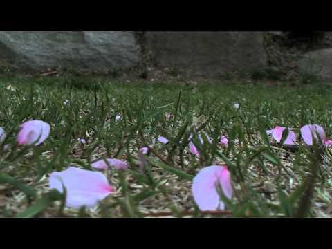 Cherry Blossoms.mov