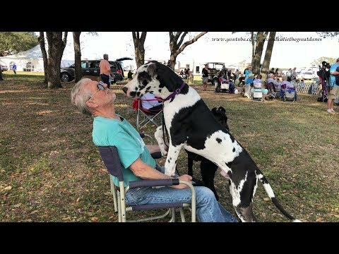 Funny Great Dane Puppy Meets a Poodle at a Dog Show