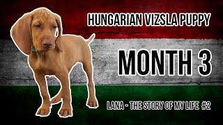 Hungarian Vizsla Puppy #2 (Month 3)