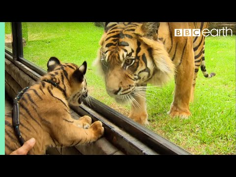 Cubs Meet Adult Tiger for the First Time | Tigers About The House | BBC Earth thumbnail