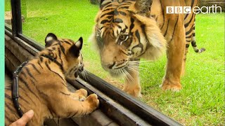 getlinkyoutube.com-Cubs Meet Adult Tiger For The First Time - Tigers About The House - BBC