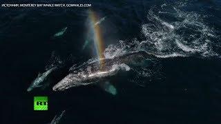 Серые киты делают радугу в заливе Монтерей — видео