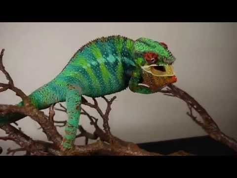 Angry Panther Chameleon
