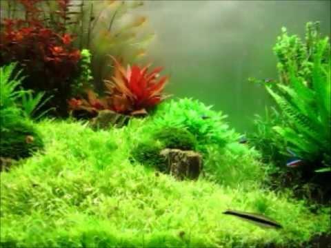 Planted aquarium evolution evolucion acuario plantado - Tipos de cesped ...