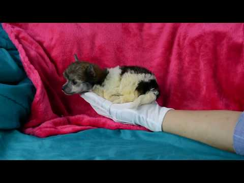 Powderpuff Chinese Crested puppy girl 6 5