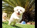Scooter the Adorable Maltipoo Male Hybrid Puppy Available For Adoption near San Marcos, CA