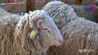 21 медаль Всероссийской выставки овец и коз - у животноводов Дагестана