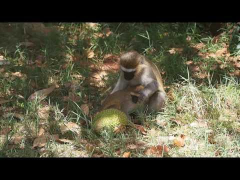 P1180432   Vervetapen in botanische tuinen Entebbe