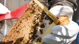 В ООН появились свои пчелы