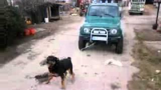 Rottweiler Pulls Suzuki Samurai.mp4