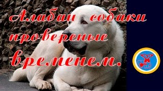 Алабаи порода собак проверена временем. Central Asian Shepherd