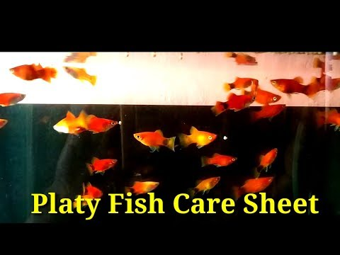 Platy Fish Care Sheet