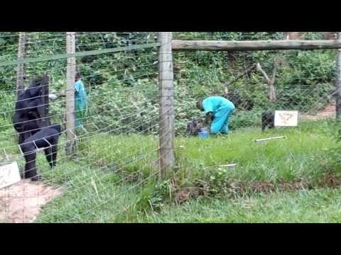 Visit to the Bonobos Great Apes in Kinshasa