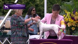 Parson Russell Terriers | Breed Judging 2021