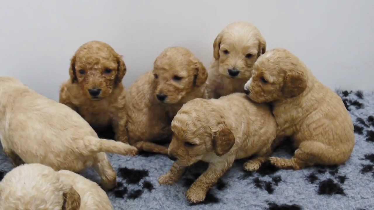 Cavachon Pups For Sale In Swansea