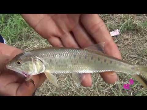 ปลาสนาก นักล่าตัวจิ๋วแห่งลุ่มน้ำจาง
