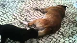 Video Cadela pequena vs cão grande download MP3, 3GP, MP4, WEBM, AVI, FLV Agustus 2018
