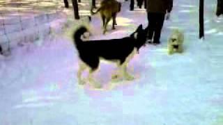 Bruce Pit, Ottawa, Perlita No-leash, Feb 12, 2011 (giant Dog)