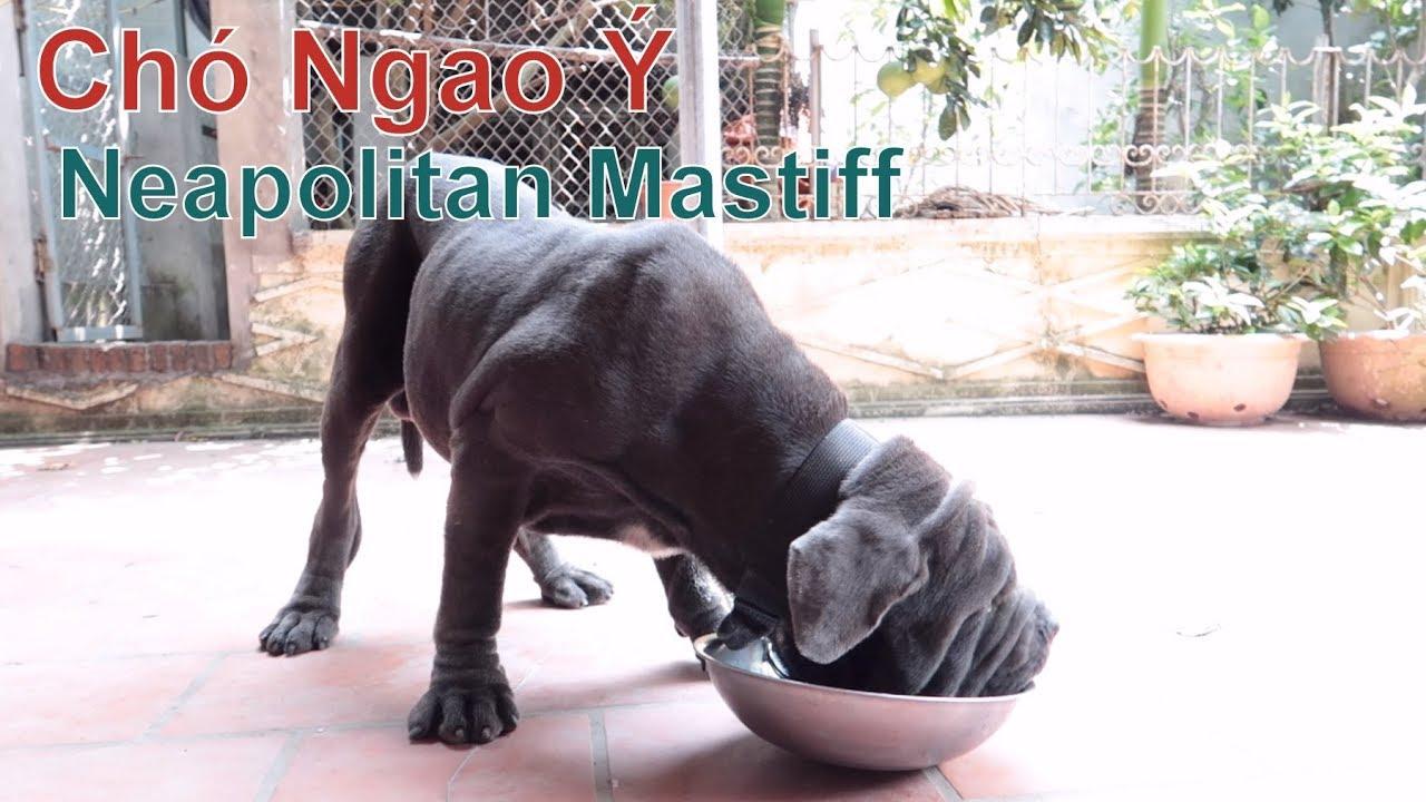P2: Chém Gió & Xem Bữa Ăn Khủng của Chó Ngao Ý / Neapolitan Mastiff/ NhamTuatTV – Dog in Vietnam