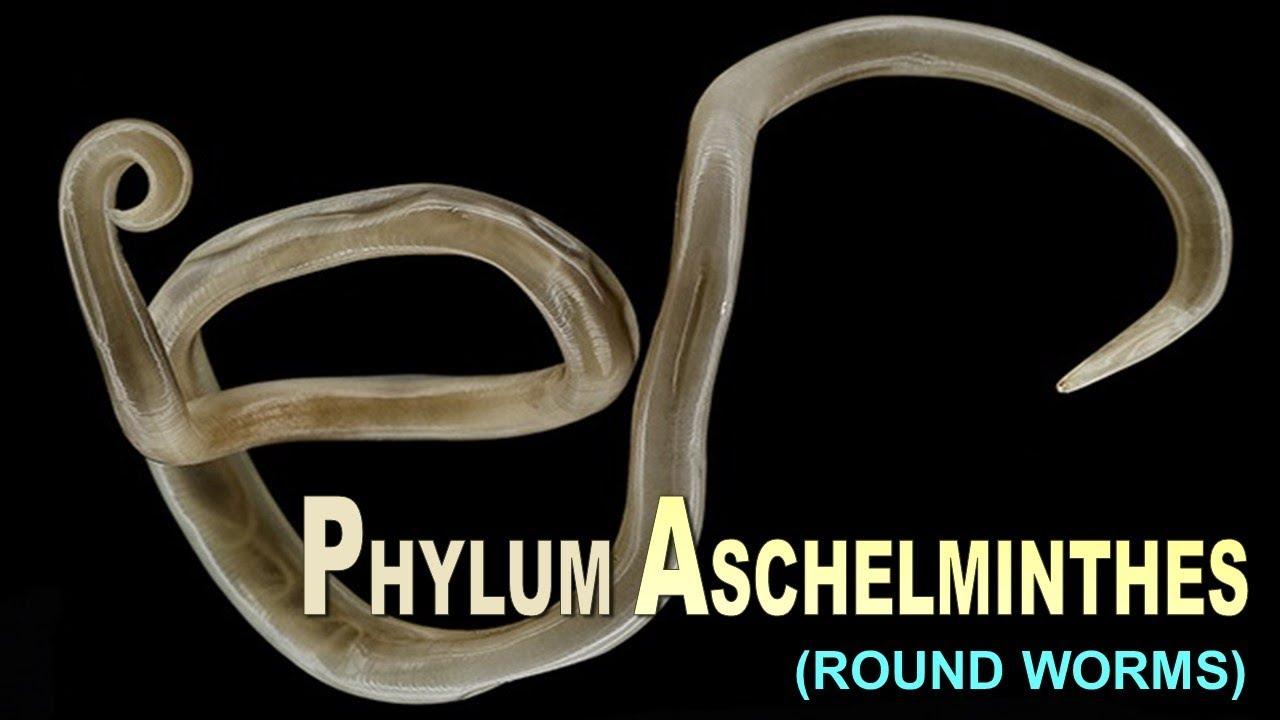 szuper phylum aschelminthes egy személy fogy a férgektől