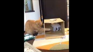 ダンボールの穴から見える弟子猫「けん」に猫心をくすぐられるのか、ち...
