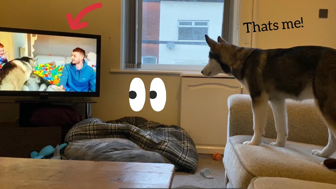 Puppy Adorable Reaction To Watching Herself On TV!! [TRY NOT TO SMILE!]