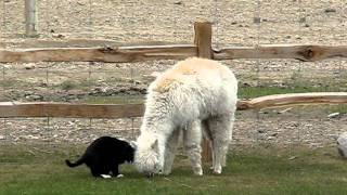 Lacey the alpaca being harassed by the Cat