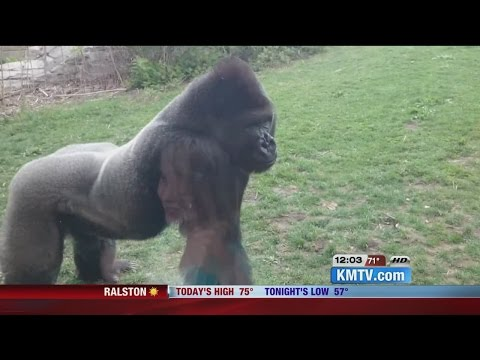 Gorilla breaks glass at Nebraska Zoo