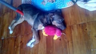 Собаке что-то снится. Дёргает лапой во сне. 05.01.17